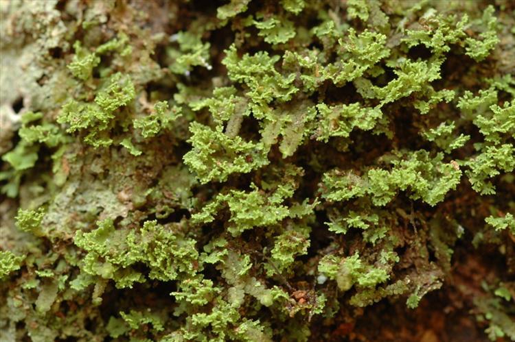 Phyllopsora lacerata from Peru, Loreto Specimen O-L144751