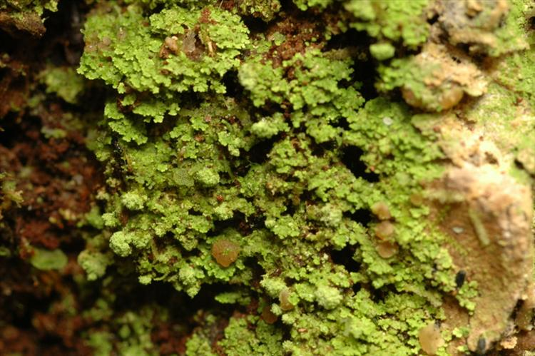 Phyllopsora soralifera from Peru, Loreto Specimen O-L144712
