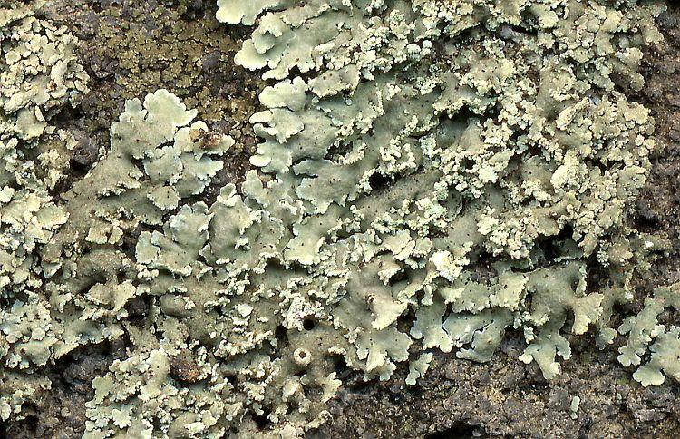 Physcia atrostriata from Taiwan leg. Sparrius 5499