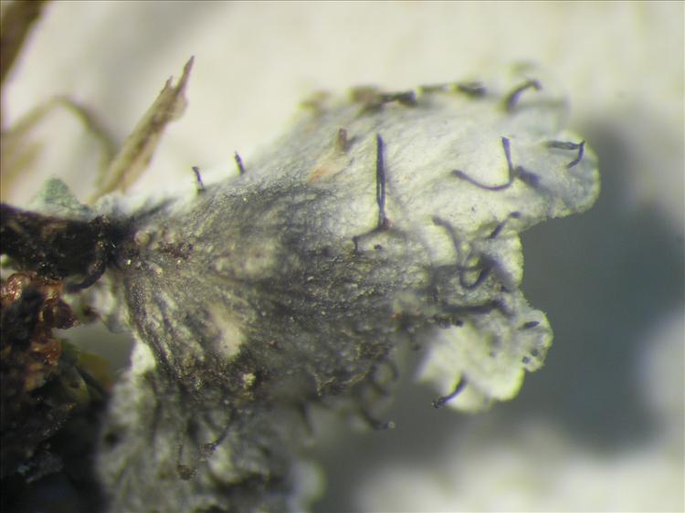 Physcia atrostriata from Netherlands Antilles, Saba Habitus. leg. Sipman  54855. Image width = 4 mm.