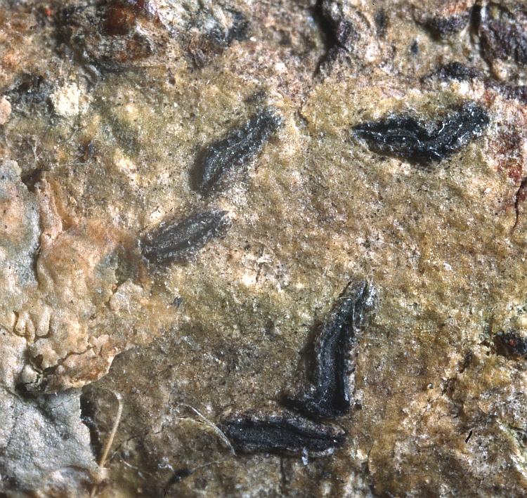 Platygramme arechavaletae from Uruguay Phaeographina arechavaletae Müll. Arg. (G) holotype