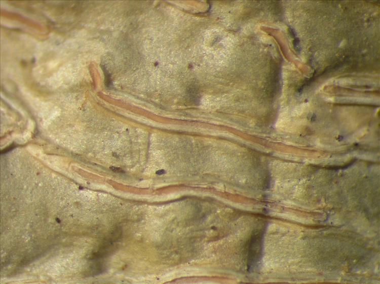 Platythecium colliculosum from Netherlands Antilles, Sint  Eustatius Habitus. leg. Sipman  14955. Image width = 4 mm.