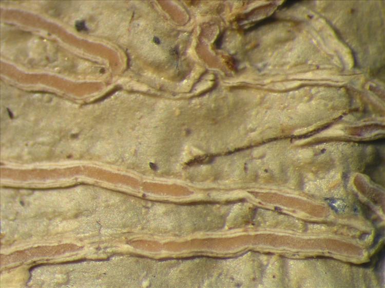 Platythecium colliculosum from Netherlands Antilles, Sint  Eustatius Habitus. leg. Sipman  14957. Image width = 4 mm.
