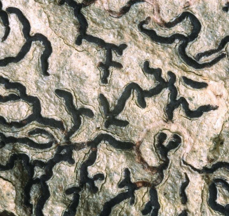 Platythecium leiogramma from Solomon Islands D.J. Hill 8680 (BM)