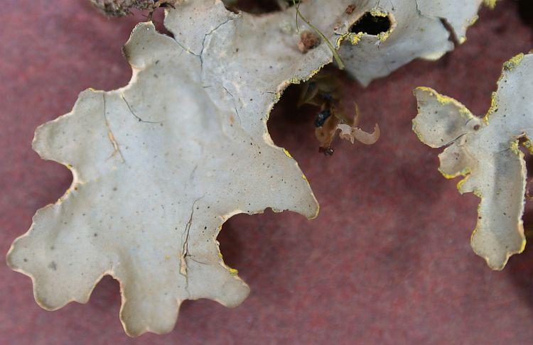 Pseudocyphellaria crocata from Taiwan