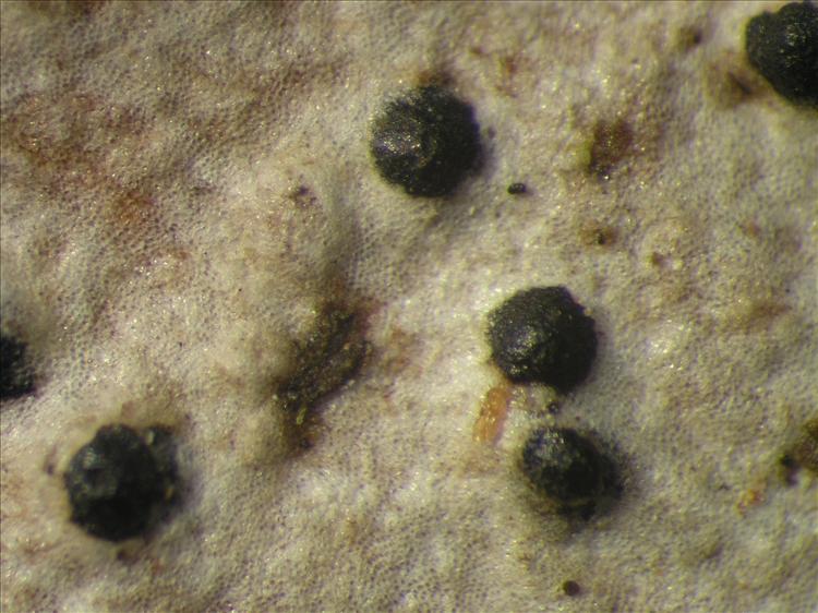 Pseudopyrenula diluta from Netherlands Antilles, Saba Habitus. leg. Sipman  54819. Image width = 4 mm.