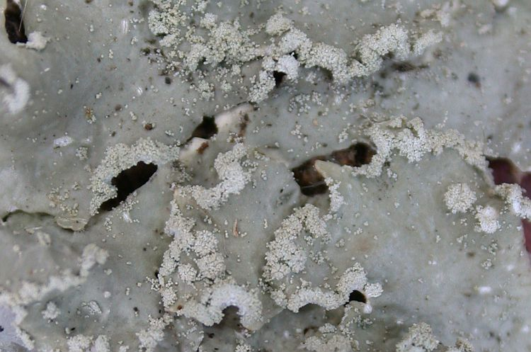 Punctelia perreticulata from Taiwan