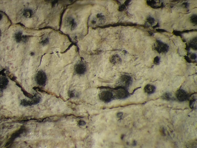 Pyrenula cocoes from Netherlands Antilles, Saba Habitus. leg. Sipman  54763. Image width = 4 mm.