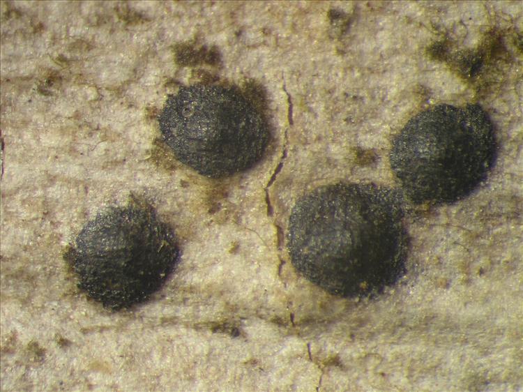 Pyrenula macrocarpa from Netherlands Antilles, Saba Habitus. leg. Sipman  54825. Image width = 4 mm.