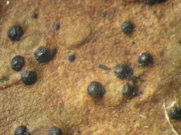 Pyrenula nitidula from Netherlands Antilles, Saba Habitus. leg. Sipman  54717. Image width = 4 mm.