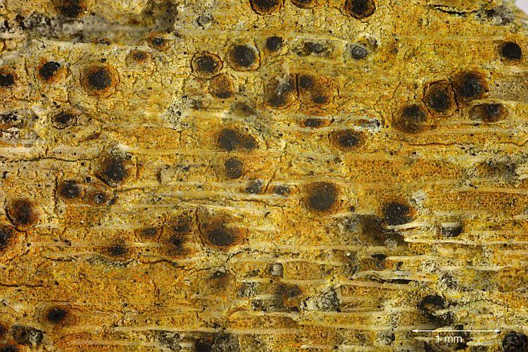 Pyrenula ochraceoflava from Madagascar