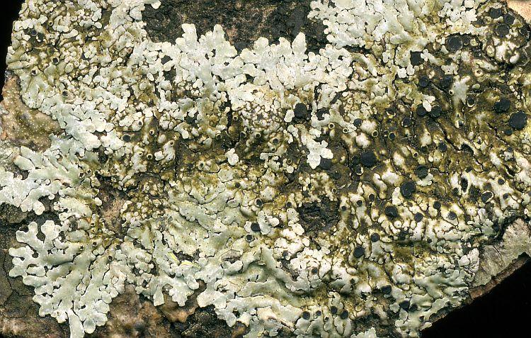 Pyxine berteriana from Taiwan leg. Sparrius 5394