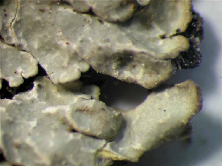 Pyxine farinosa from Singapore Thallus. leg. Sipman 45798 (B). Image width = 4 mm.