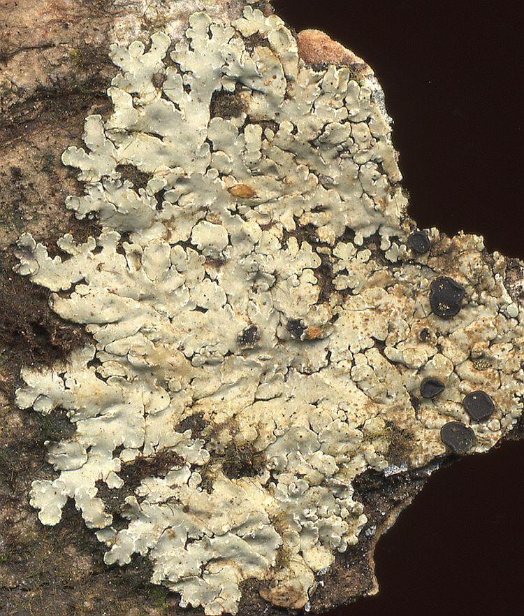 Pyxine himalayensis from Taiwan leg. Sparrius 5357