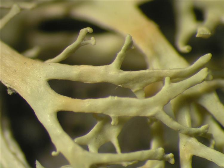 Ramalina dendroides from Netherlands Antilles, Saba Habitus. leg. B. Buck 50871. Image width = 4 mm.
