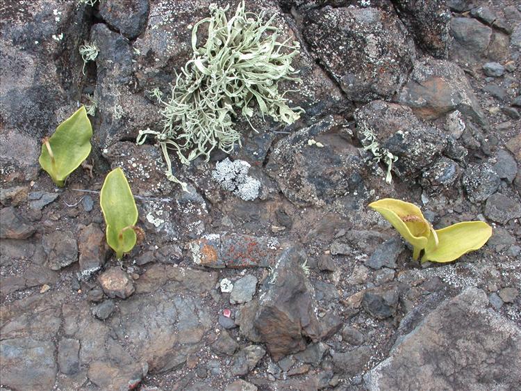 Ramalina sanctae-helenae from Saint Helena