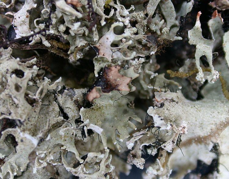 Rimelia clavulifera from Ecuador, Galápagos