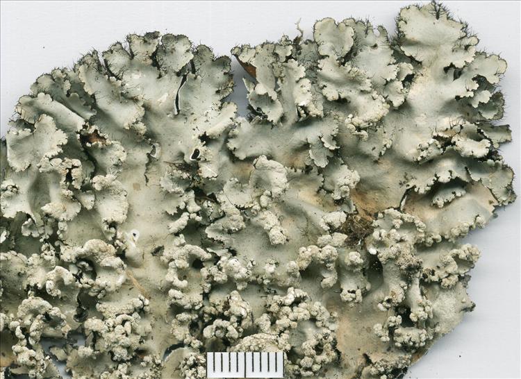 Parmotrema diffractaicum from Brazil, Rio Grande do Sul