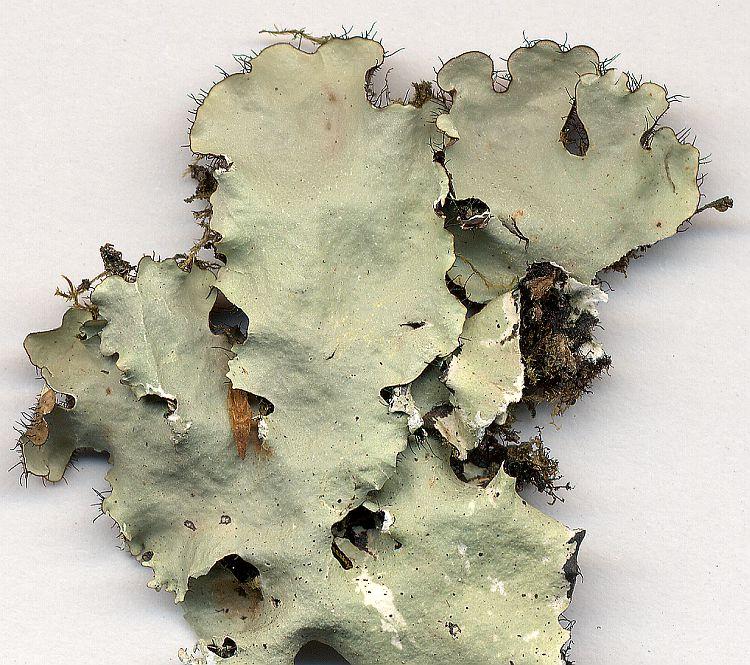 Rimelia pustulata from Taiwan leg. Sparrius 5759