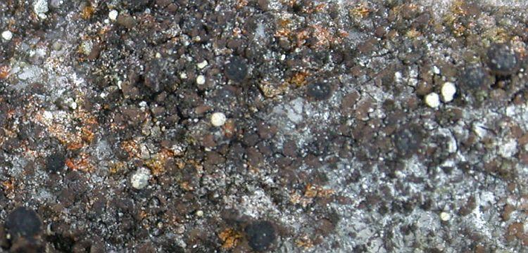 Rinodina fuscescens from China, Yunnan