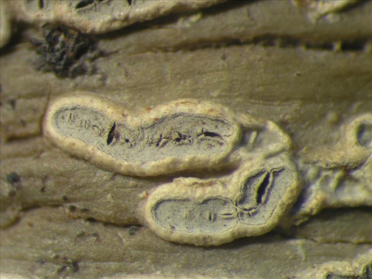 Sarcographa heteroclita from Netherlands Antilles, Sint  Eustatius Habitus. leg. Sipman  14842. Image width = 4 mm.