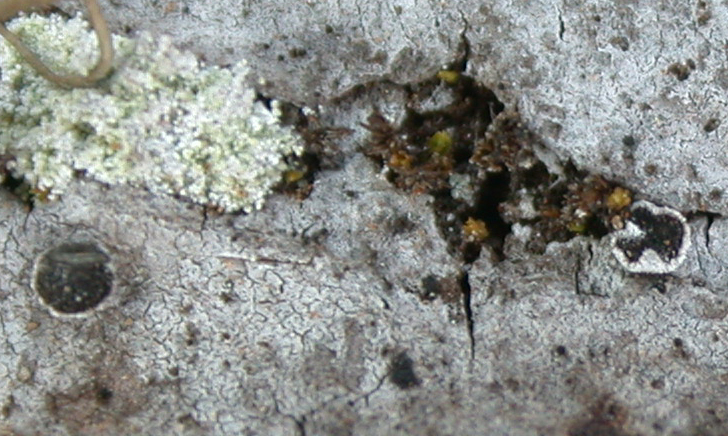 Schismatomma pericleum from China, Yunnan