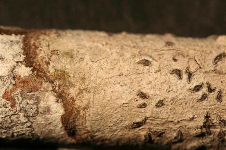 Schismatomma spieri from Ecuador, Galápagos leg. Aptroot 65014 (CDS)