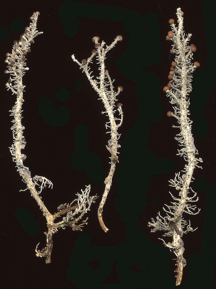 Stereocaulon massartianum from Taiwan leg. Sparrius 5852