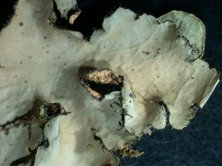 Sticta cyphellulata from Australia