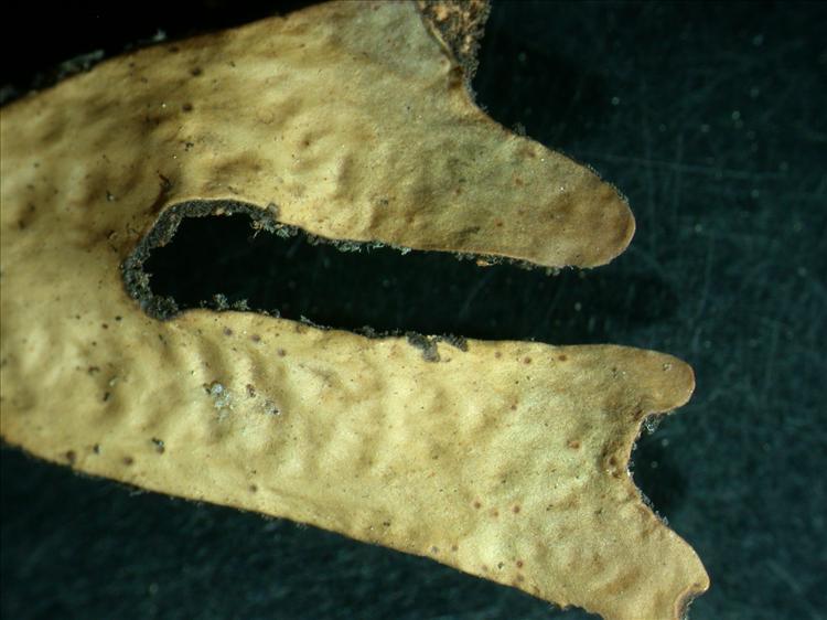 Sticta laciniosa from Papua New Guinea