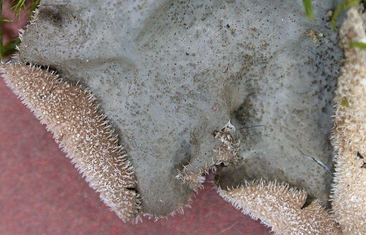 Sticta sylvatica from Taiwan