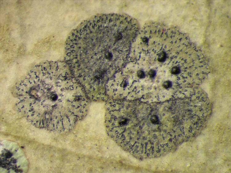 Strigula nitidula from Singapore Habitus. leg. Sipman 45441f. Image width = 4 mm.