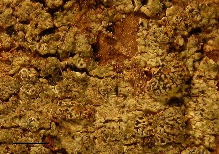 Synarthothelium cerebriforme from Venezuela leg. Sipman 44334 (B) holotype, scalebar = 1 mm