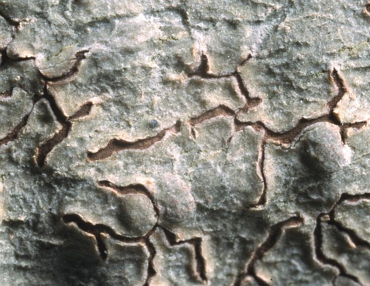 Thalloloma castanocarpum from Solomon Islands Graphis castanocarpa A.W. Archer (BM) holotype