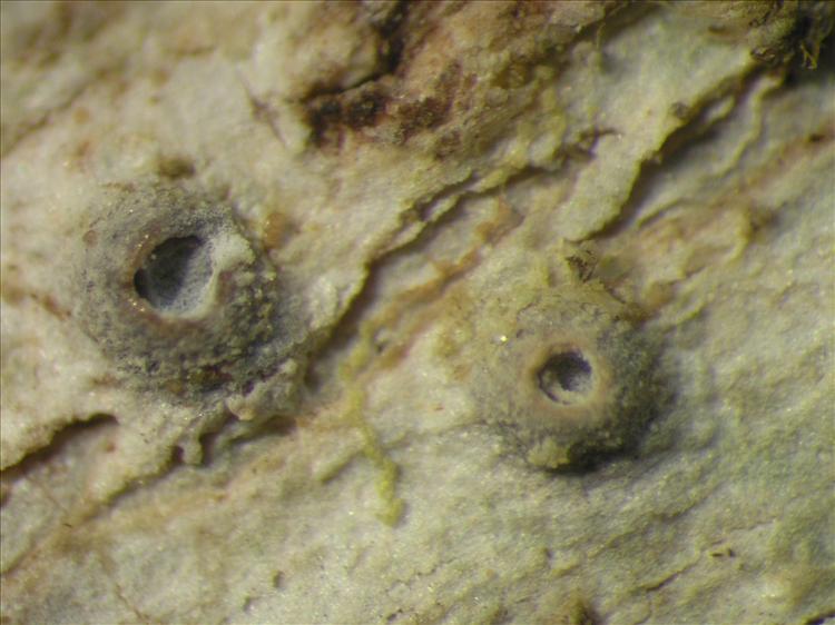 Thelotrema monosporum from Netherlands Antilles, Saba Habitus. leg. Sipman  54873. Image width = 4 mm.