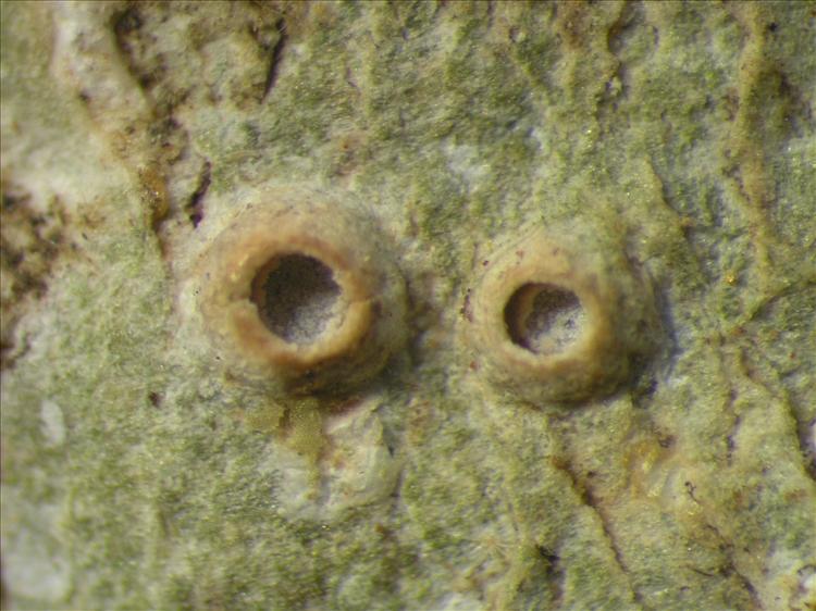 Thelotrema pachystomum from Netherlands Antilles, Saba Habitus. leg. Sipman  54845. Image width = 4 mm.