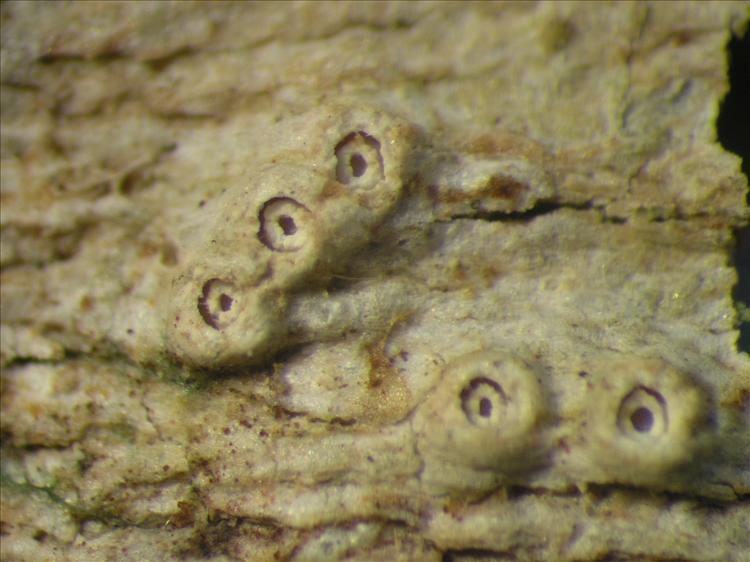 Thelotrema porinoides from Netherlands Antilles, Saba Habitus. leg. Sipman  54829a. Image width = 4 mm.