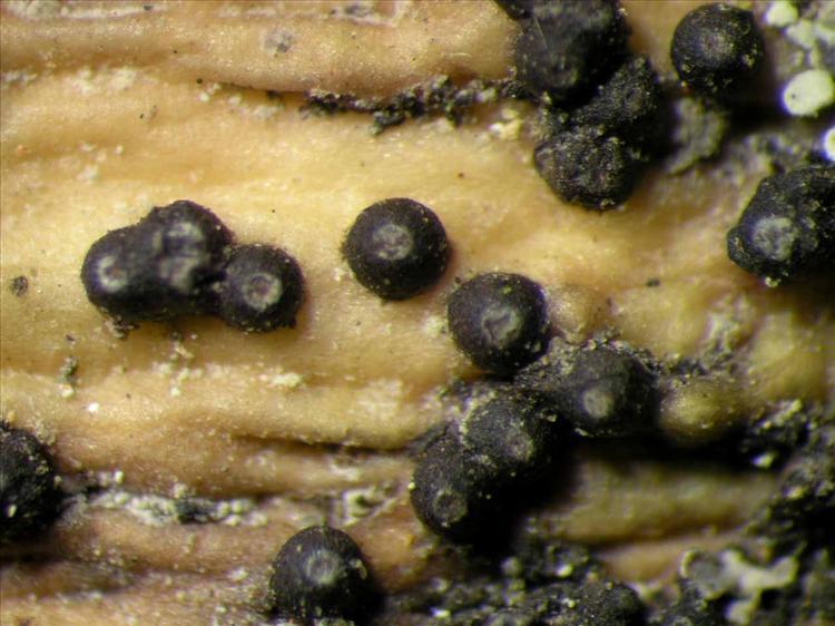 Trypethelium tropicum from Singapore Habitus. leg. Sipman 45522. Image width = 4 mm.